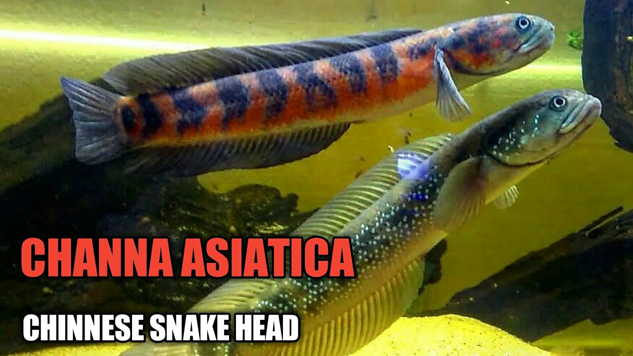 Channa Asiatica Chinnese Snakhead