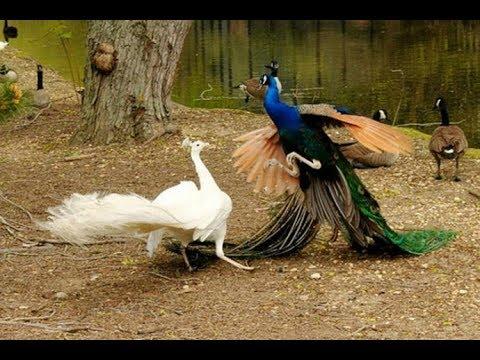 Mua Công Giống Ở Đâu | Mua Chim Công Ở Đâu 1