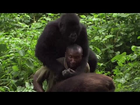 The Nature Of Things Collection 3 08of12 Gorilla Doctors