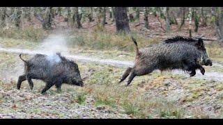 Repeat youtube video La Chasse Au Sanglier,Battue Sanglier,Wild Boar Hunting