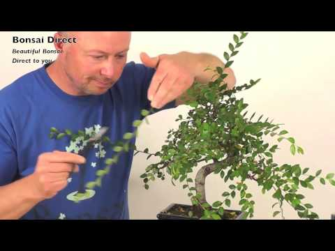 How do I prune my Chinese Elm Indoor Bonsai?