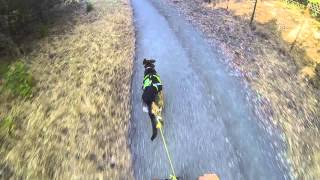 German Shepherd Dog Harness 1.25 Mile Scooter Run - Best Time