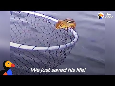 Drowning Chipmunk Rescued by Fishermen   The Dodo