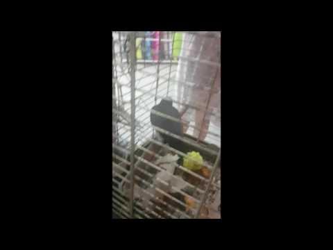Funny parrots in Ayia Napa, Cyprus