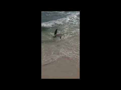 Shark at Panama City beach