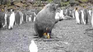 Изнасилование Королевского Пингвина