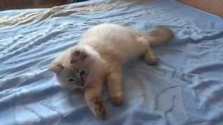 Невский маскарадный кот Казимир снежная зима Г Оренбург