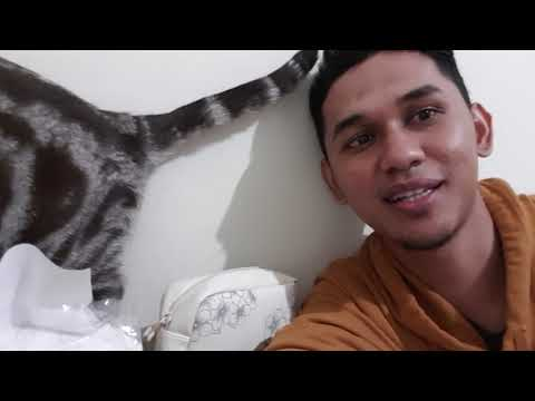 Lucunya Kucing American Short Hair (ASH) bersama Dokter Ben