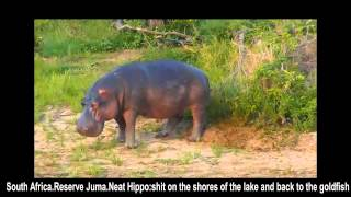 Бегемот навозом метит свою территорию в Джума Africa Hippo marks territory with its own shit