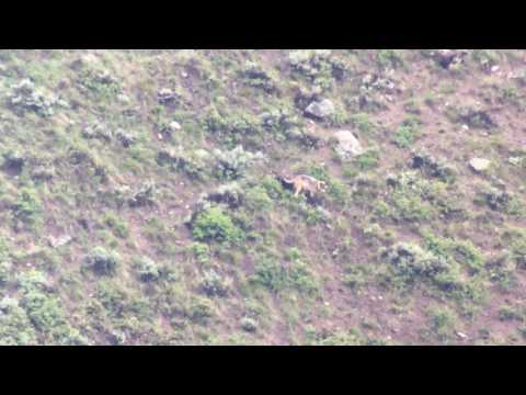 Yellowstone's Junction Butte wolf pack den with pups May 2016