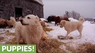 Guard dogs play in hay meant for sheep and cattle.