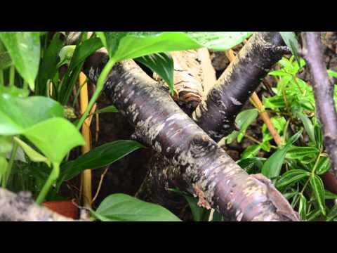 Anolis carolinensis eating waxworms