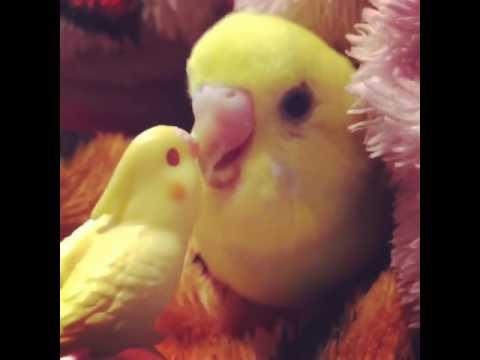 Kuşunuzu kesin öttürecek yavru muhabbet kuşu sesi