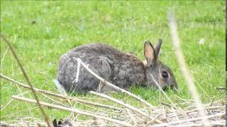 Królik europejski, królik dziki (Oryctolagus cuniculus) / rabbit