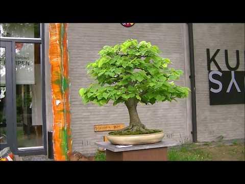 "25th Anniversary Bonsai Association ""DE KEMPEN"""