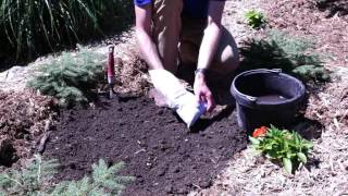 How to Plant a Clematis Plant