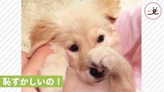 なんでそんなに見てくるの?恥ずかしがり屋の子犬ちゃん【PECO TV】 thumbnail