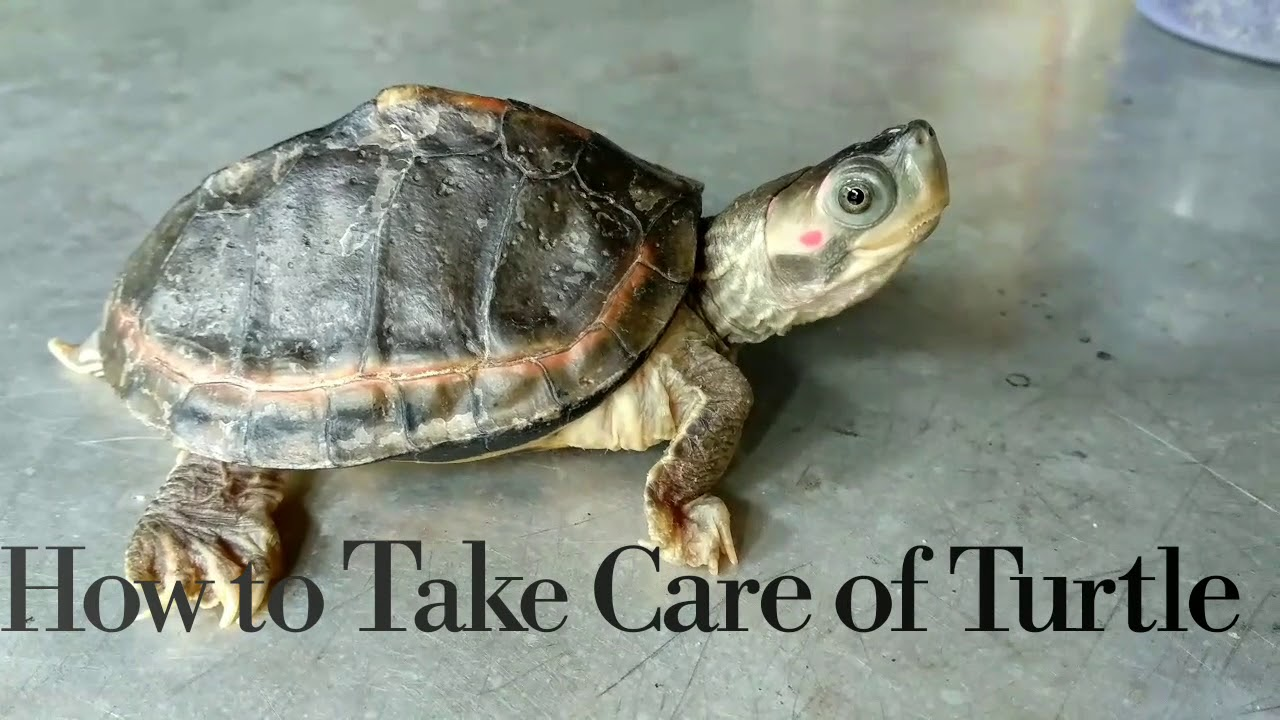 Download How to Take Care of Turle || Basic things to Pet a Turtle || Indian Tent Turtle || Pet Turtle