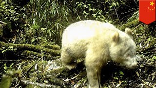 Albino giant panda spotted in China in the wild - TomoNews