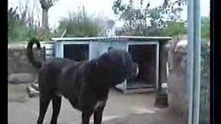 Danua Mix & Yorkshire Terrier