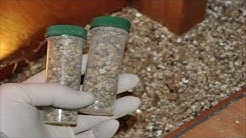 Vermiculite Great Insulation:  Asbestos Safety, What does Vermiculite Look Like