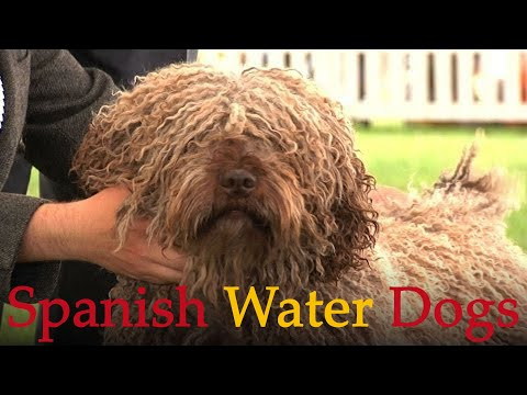 Spanish Water Dogs - Bests of Breed