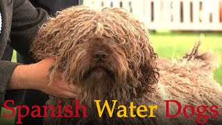 Spanish Water Dogs  Bests of Breed