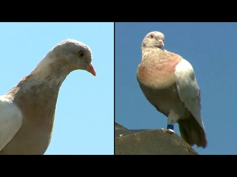 Why 'Joe' the Pigeon Will Live to See Another Day