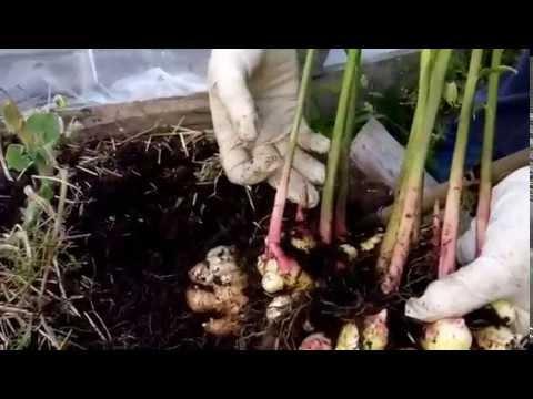 Опыт по выращиванию имбиря в Нижегородской области