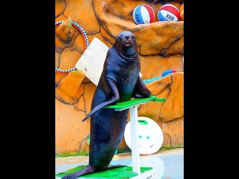 Морской лев играет с мячом!