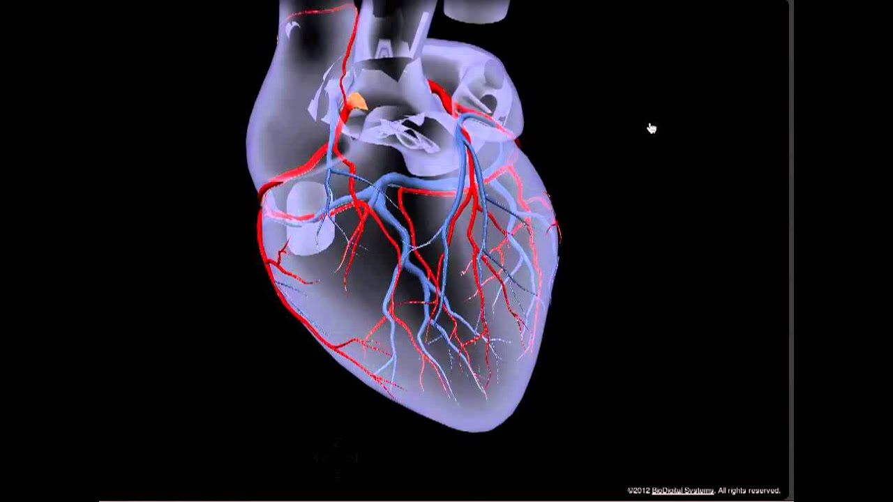 Cardiovascular System: Coronary arteries - YouTube