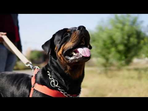 Rottweiler puppies available in meerut and Dogs for breding