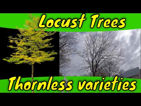 Thornless Honey Locust Trees