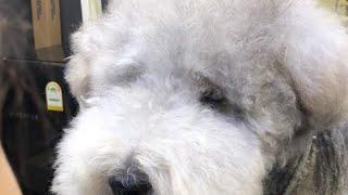 레이크랜드 테리어 왈츠의 실시간 미용 영상 / (LIVE) dog pet Lakeland Terrier grooming