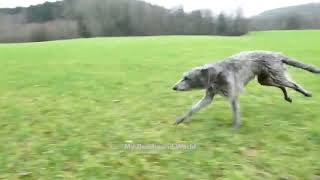Beautiful Deerhounds Dogs Playing each other & Running too Fast