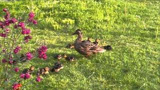 Wild Duck and Ducklings Feeding (England)