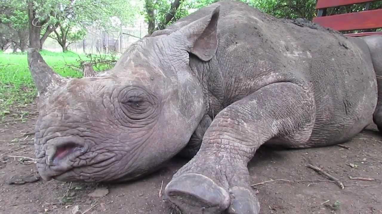 Sleeping rhino - Picture of Pilanesberg National Park, Sun City ...