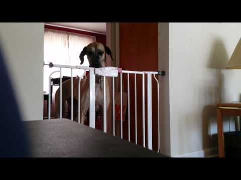 Great Dane Opens gate