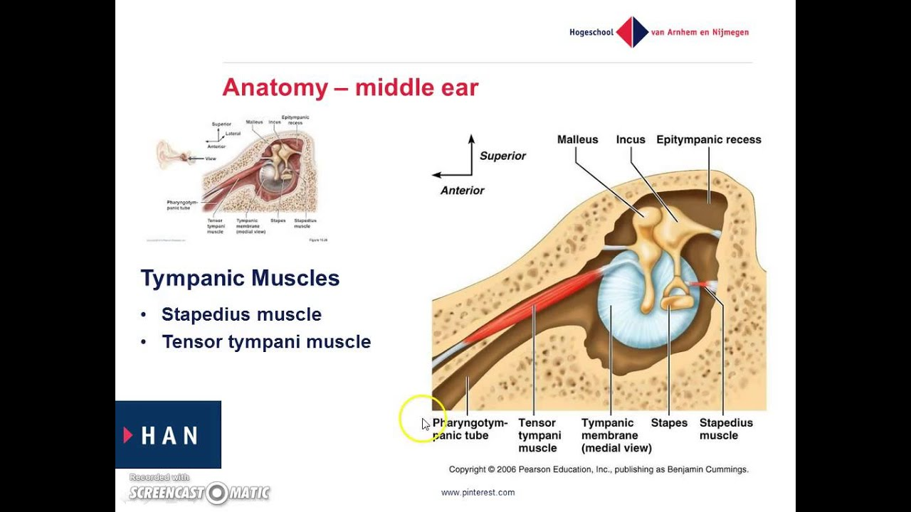 Anatomy and physiology of the middle ear - YouTube