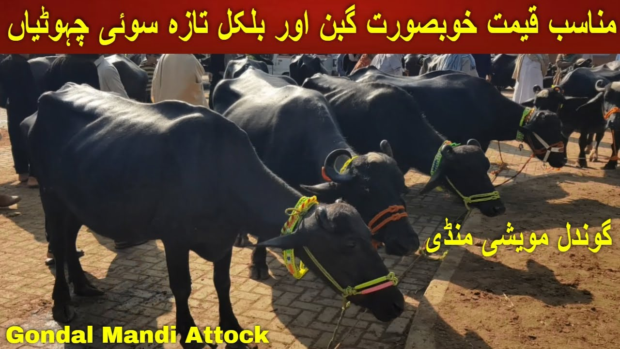 Download Pregnant And Milking Buffaloes On Gondal Mandi Attock خوبصورت گبن چہوٹیاں    By My Life Channel