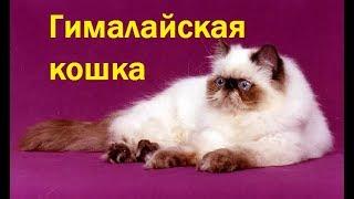 Все кошки мира:  Гималайская кошка.