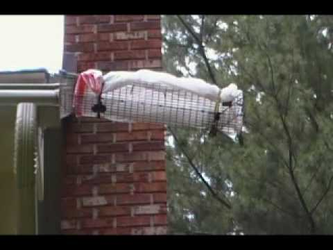 Flying Squirrels In Attic 6 Youtube