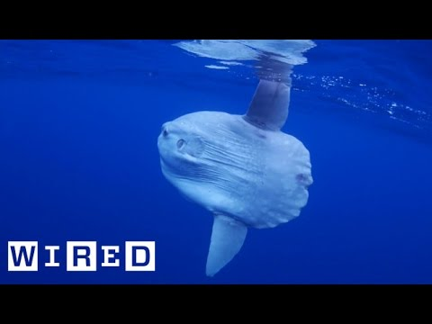 Absurd Creatures | Pucker Up With The Truck-Sized Ocean Sunfish