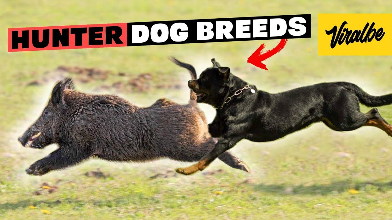 These Are 10 Best Hunting Dog Breeds Youtube