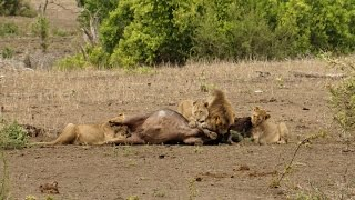 Lions kill a buffalo - A pride of lions hunt and kill a buffalo in Kruger National Park safari tour