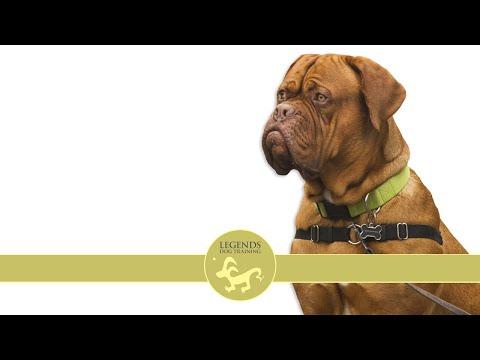 French Mastiff: Anxiety, Stress (Dogue de Bordeaux)