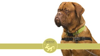 French Mastiff: Anxiety, Stress (Dogue de Bordeaux)