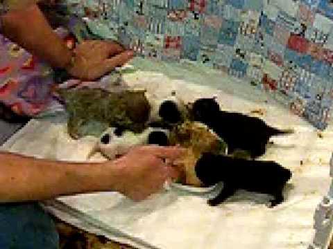 Hope's Chihuahua Puppies Feeding