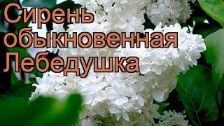 Сирень обыкновенная Лебедушка (lebioduszka) ???? обзор: как сажать, саженцы сирени Лебедушка