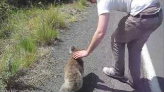 Repeat youtube video The Koala